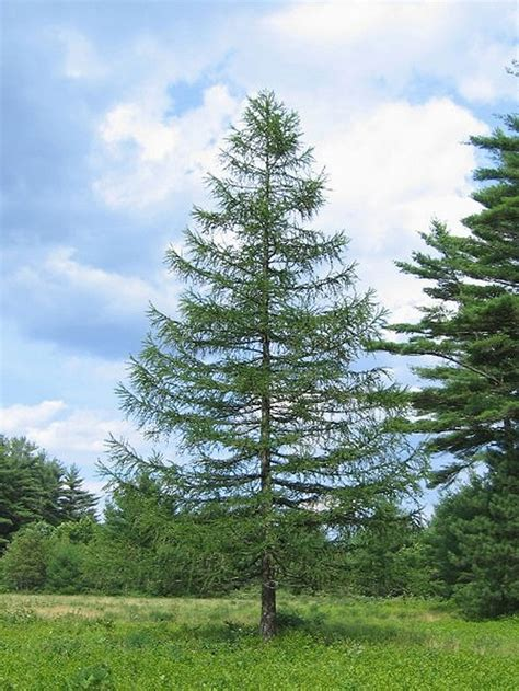 European Larch Facts, Growth Rates, Lifespan, Pictures