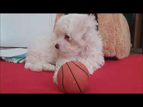 Cute Maltese Pictures, Photos, and Images for Facebook