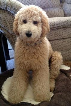 types of goldendoodle haircuts - Google Search …   Mens