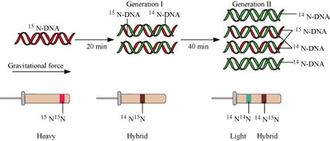 please explain the process of DNA replication - Biology
