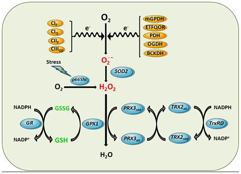 Frontiers | Glutathione and mitochondria | Pharmacology