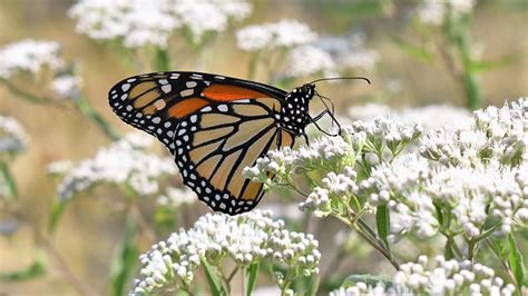 Michigan bill proposes making the monarch butterfly the