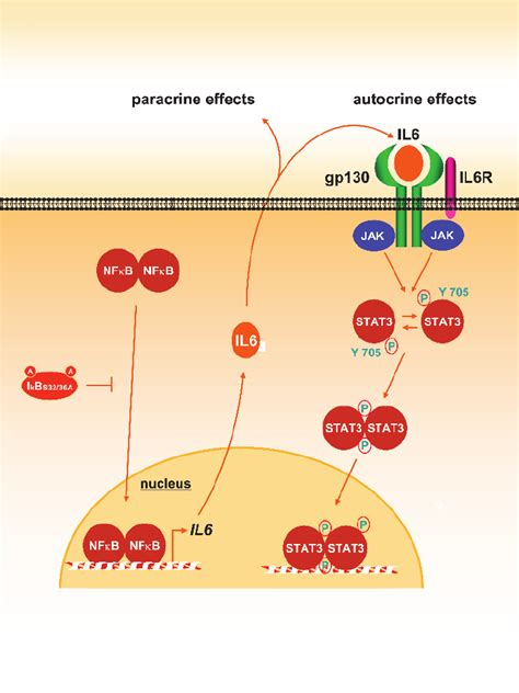 Proposed mechanism of cross-talk between the NF j B and