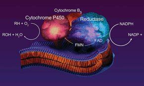 Cytochrome P450 - Substrates by Enzyme | Sigma-Aldrich