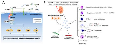 IJMS | Free Full-Text | Emerging Roles of IL-33/ST2 Axis