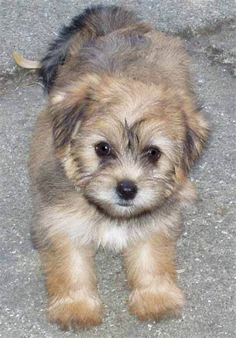 Cute Puppy Dogs: Maltese Yorkie puppies