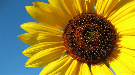 Sunflower Widescreen Wallpaper For Android » Outdoors