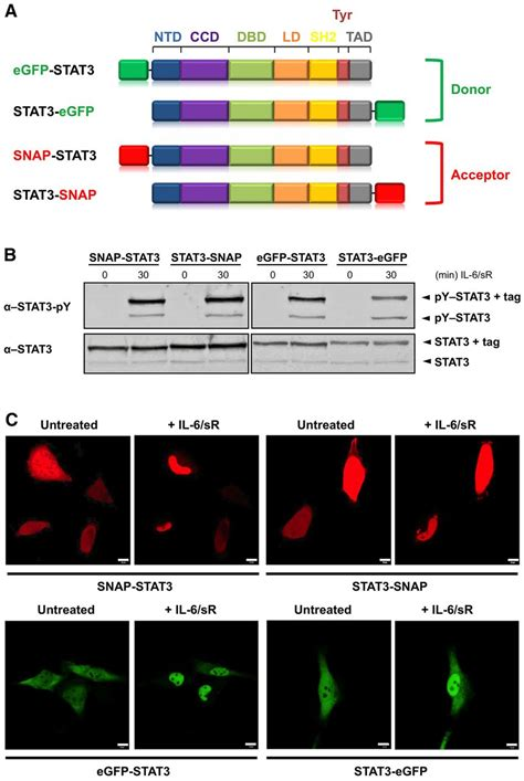 Consequences of the disease-related L78R mutation for