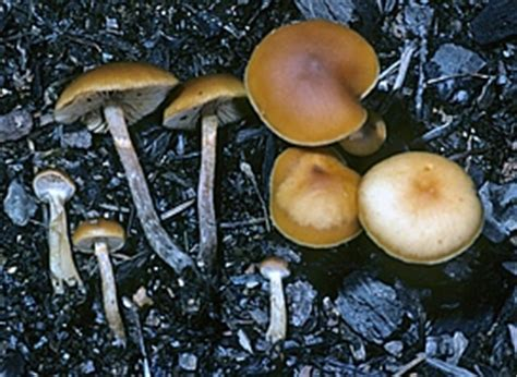 Mushroom Poisoning Syndromes - North American Mycological