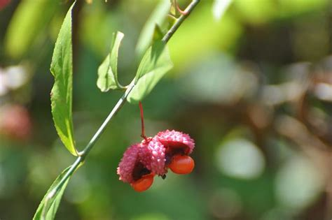 strawberry bush with seed pod leaves