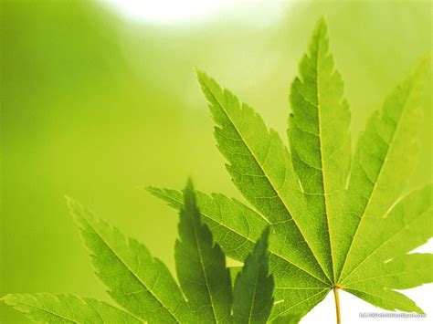 High Quality Green Leaves Powerpoint Background – HD Slide