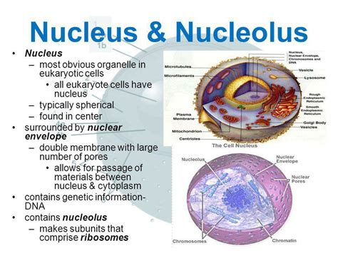"""Nucleus & Nucleolus on Twitter: """"Name a more iconic duo"""